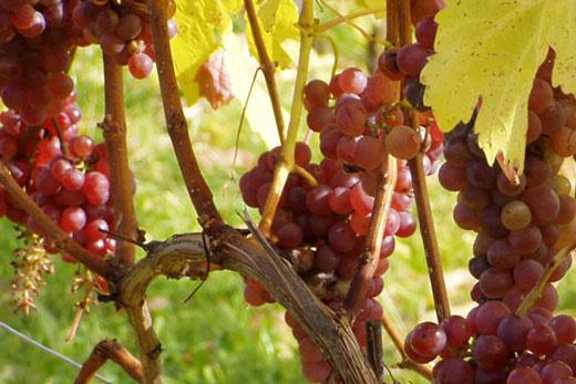Rote Weintrauben in der Sonne